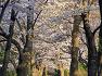 분당메모리얼파크 벚꽃 만개