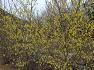 대구수목원 -  한국 원산지 특산식물 환경부 멸종위기 야생식물Ⅱ급 오한발열에 효능이 있는 히어리,꽃,효능.