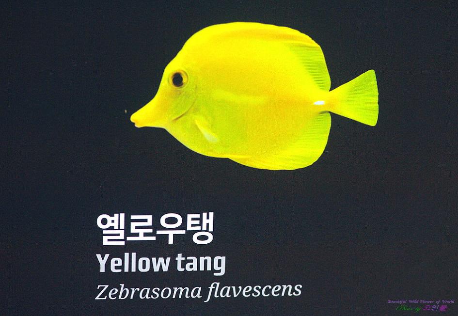 옐로우탱(해수어)